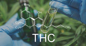 כמו להתניע את המוח: מה THC עושה לגוף שלנו?