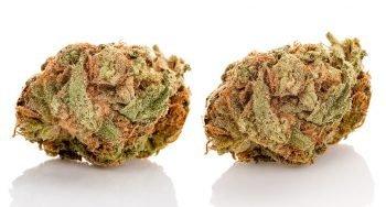 שני פרחים, אותו ריכוז THC – והשפעה אחרת לגמרי. למה?